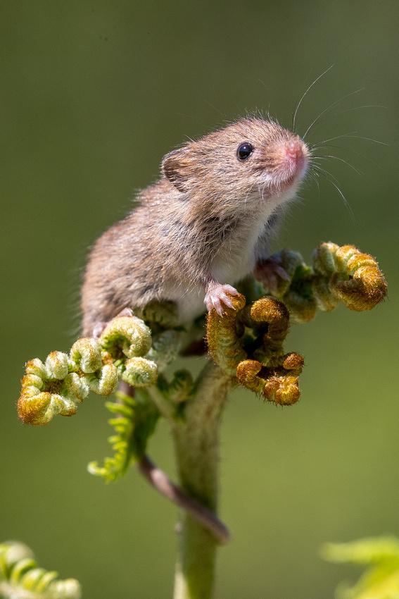 Harvest mouse on bracken