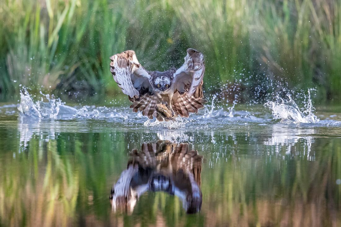 osprey Aviemore