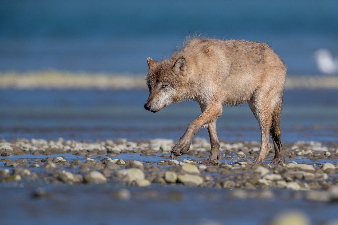 Wolf fishing for salmon